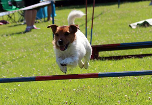 Jack Russell Terrier při agility