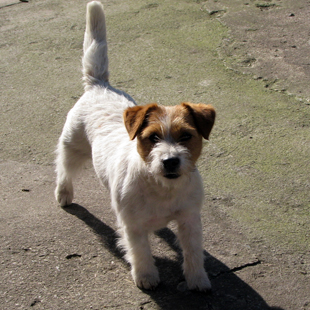 Dolcenera Armonia Canina - jack russell terrier