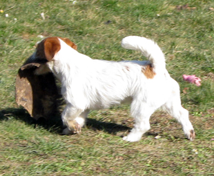 Jack Russell Terrier - Southjack Ghiaccio Bollente