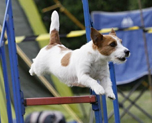 Jack Russell Terrier a agility